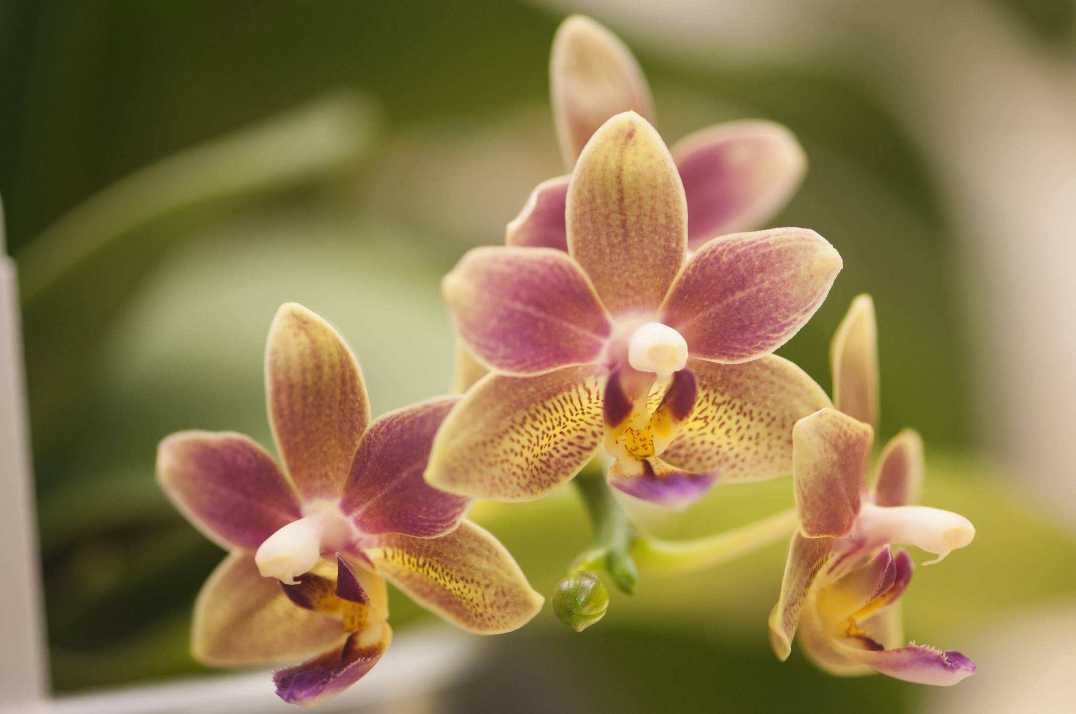 Интересный вопрос: как спасти орхидею без корней и с вялыми листьями?