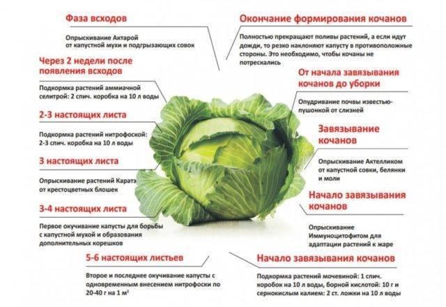 Характеристика капусты сорта белоснежка - журнал садовода ryazanameli.ru
