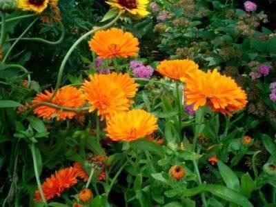 Как выглядят цветы ноготки, календула - выращивание из семян, уход
