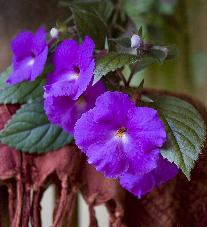 Ахименес — пышное цветение при минимальном уходе. выращивание в комнатных условиях. фото — ботаничка.ru
