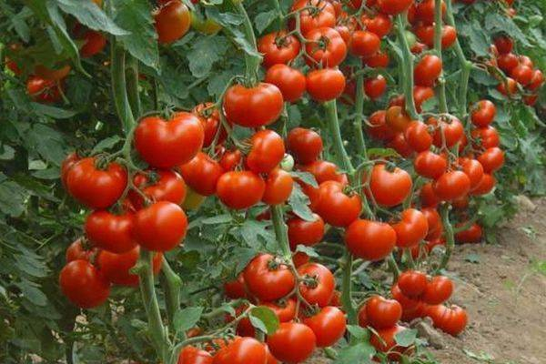 Томат марьина роща f1: отзывы, урожайность и описание сорта + фото куста
