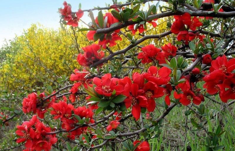 Айва японская: размножение черенками, выращивание и уход