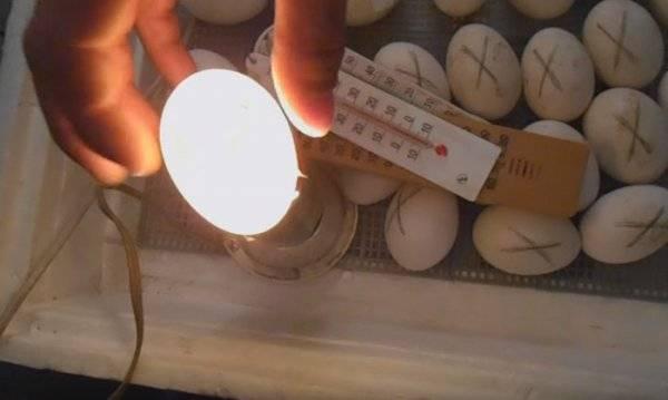 Что такое овоскопирование куриных яиц и как его правильно проводить?