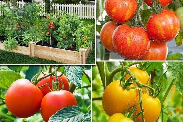 Хороший урожай при минимальном уходе — томат непас 14 непасынкующийся сахарный: описание сорта