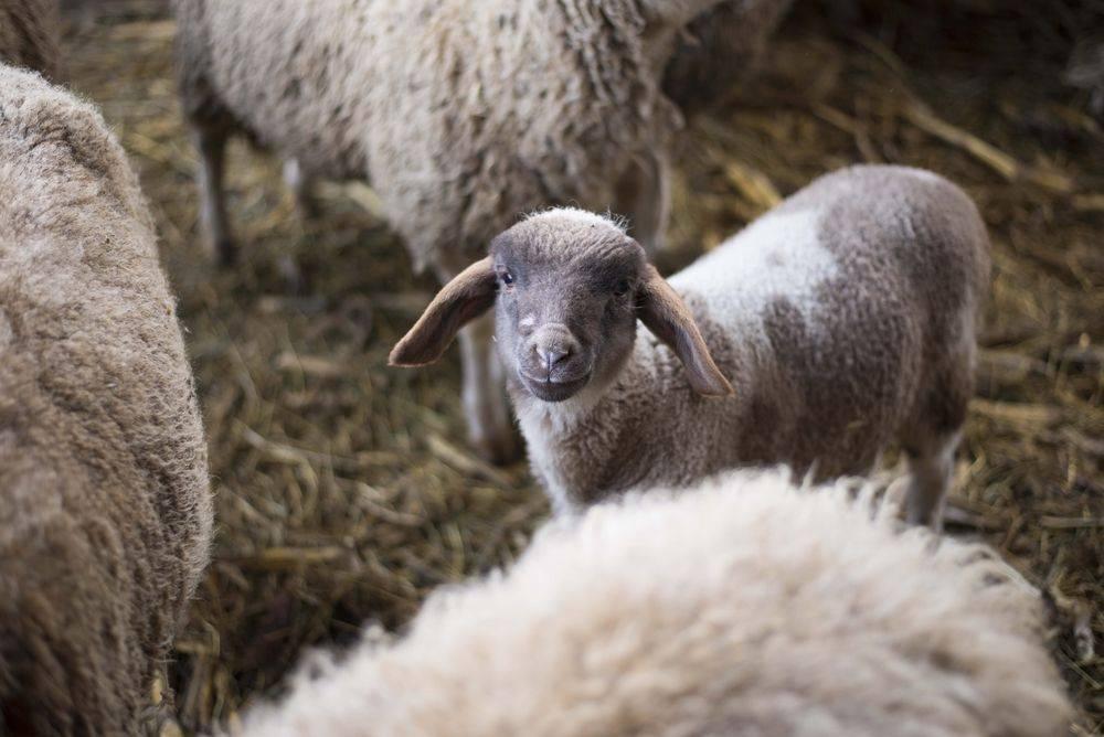 Гиссарская порода овец (30 фото): вес самых больших баранов, содержание курдючных овец, уход за гиссарами