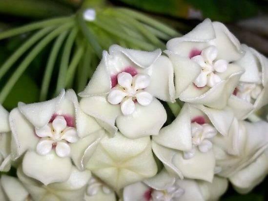 Хойя ретуза: описание и фото, а также инструкция по размножению разными способами и правильный уход за этим цветкомдача эксперт