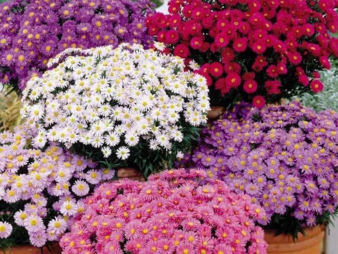 Астра кустарниковая: разновидности, посадка и уход, разведение