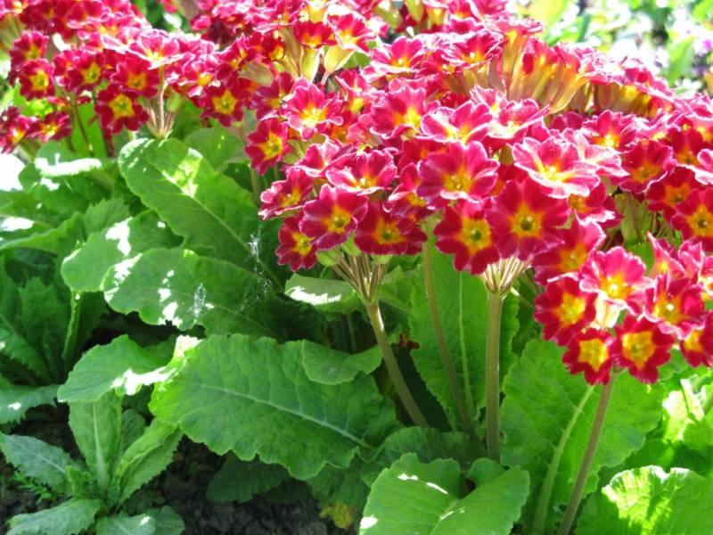 Примула многолетняя садовая: посадка и уход, фото