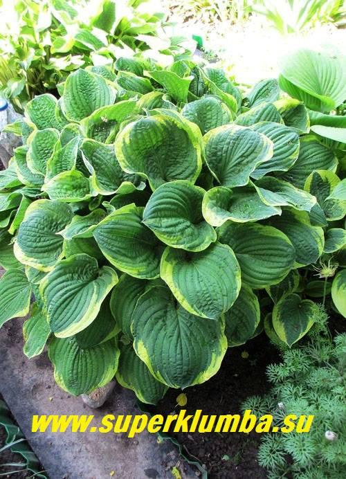 Цветок хоста – посадка, выращивание и уход в открытом грунте, фото сортов