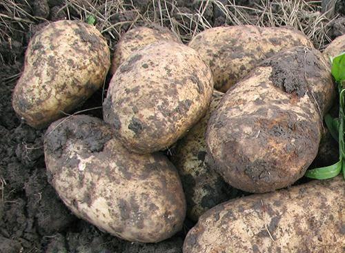 Картофель голубизна: описание сорта, фото, отзывы о вкусовых качествах и сроках созревания, особенности ухода, выращивания, хранения, характеристика урожайности
