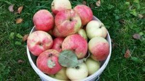 Яблоня штрифель: описание сорта, посадка и уход