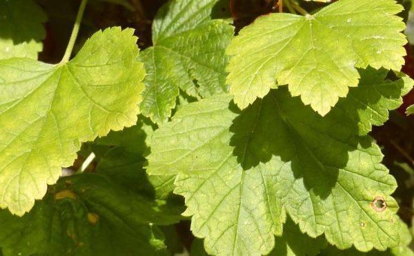 Желтеют и опадают листья у смородины: что делать, чем полить