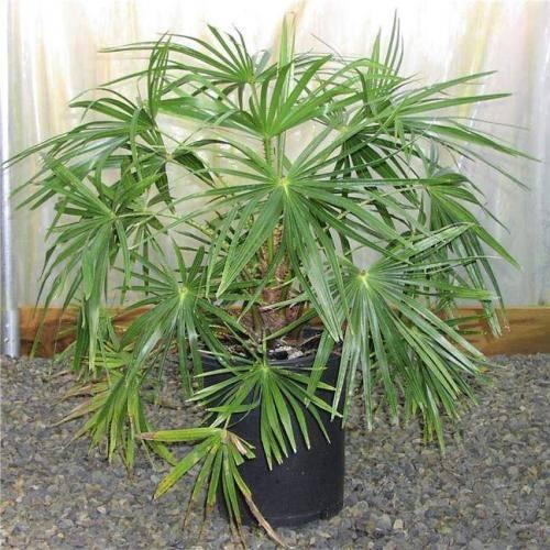 Домашняя комнатная пальма: виды и названия, посадка и уход