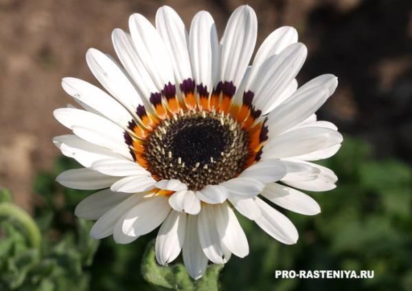 Ясенец: выращивание из семян, посадка и уход, размножение