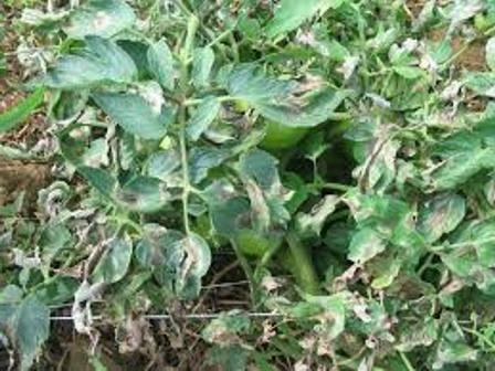 Фитофтора на томатах, эффективные средства от фитофторы на помидорах
