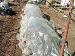 Винограда рута — описание сорта и особенности выращивания