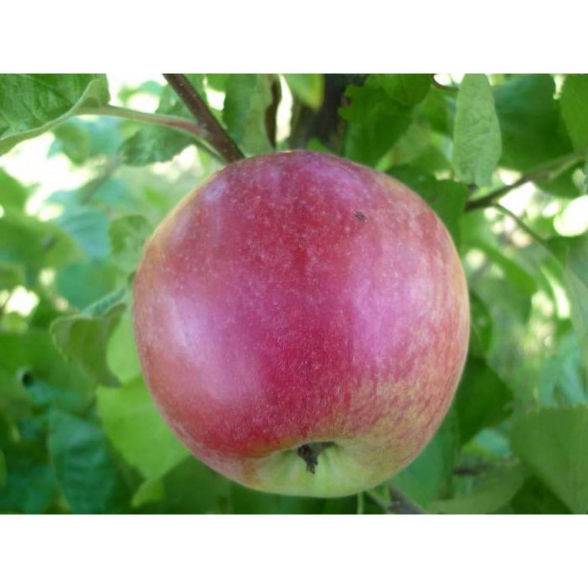 Яблони сорта «подарок графскому»: описание и особенности выращивания