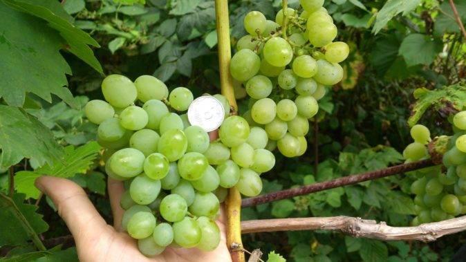 ᐉ сорт винограда любимец - roza-zanoza.ru