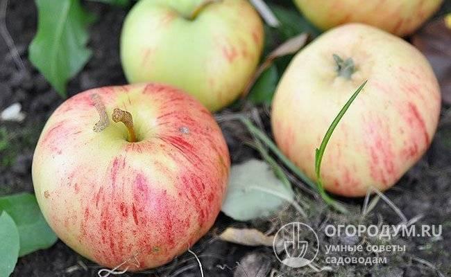 Яблоня осенняя радость: описание, фото, отзывы
