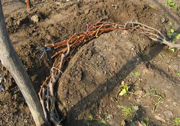 Осенние работы с виноградом. как подготовить виноград к зиме