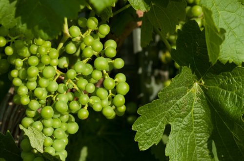 Виноградный сорт продюсер