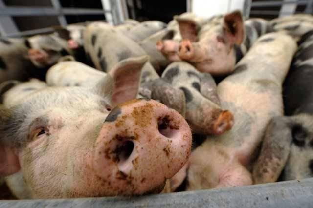 Свиньи миргородской породы - знай ферму