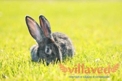 Порода кроликов ризен: содержание и уход за гигантом