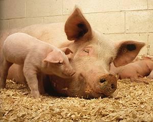 Подстилка для свиней с бактериями (глубокая подстилка)