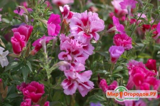 Цветок кларкия: фото, описание, выращивание из семян, уход - sadovnikam.ru