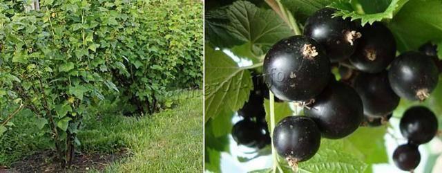"""Черная смородина """"багира"""": описание сорта, особенности выращивания и фото selo.guru — интернет портал о сельском хозяйстве"""