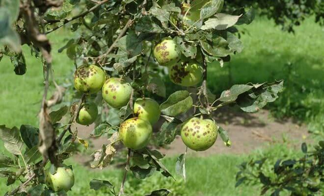 Болезни яблонь и их лечение: обработка, опрыскивание