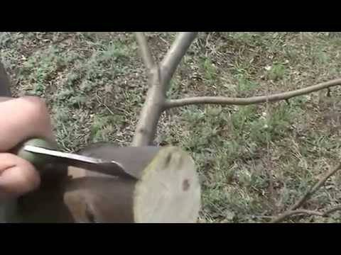 Прививка яблонь весной: пошаговая инструкция для начинающих
