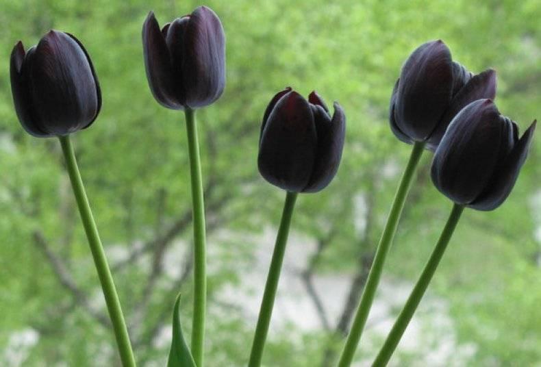 Бахромчатые тюльпаны (29 фото): описание махровых тюльпанов «вайя кон диос» и «дайтона», «канаста» и других сортов цветов