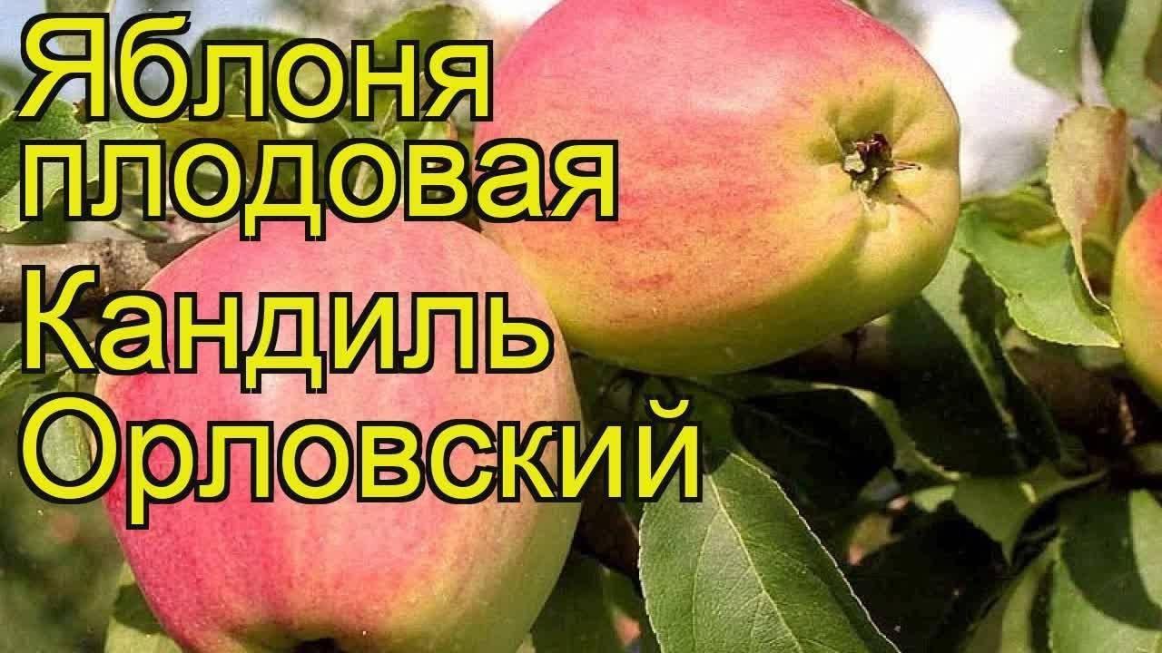 Яблоня «кандиль орловский»: описание сорта, фото и отзывы
