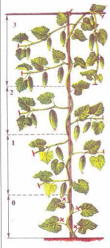 Обрезка огурцов в теплице: схема