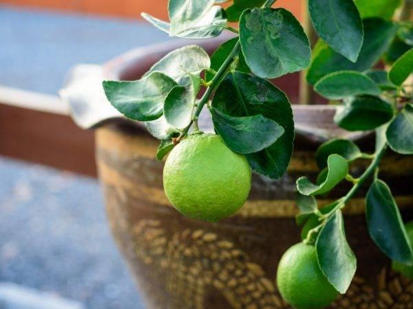 Выращивание лайма в домашних условиях