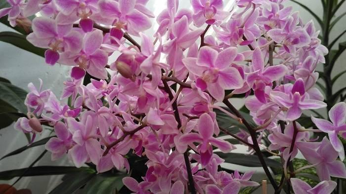 Описание орхидеи фалонопсис эквестрис. выращивание орхидеи сорта граз: отзывы, фото, размножение эквестрии орхидея уход