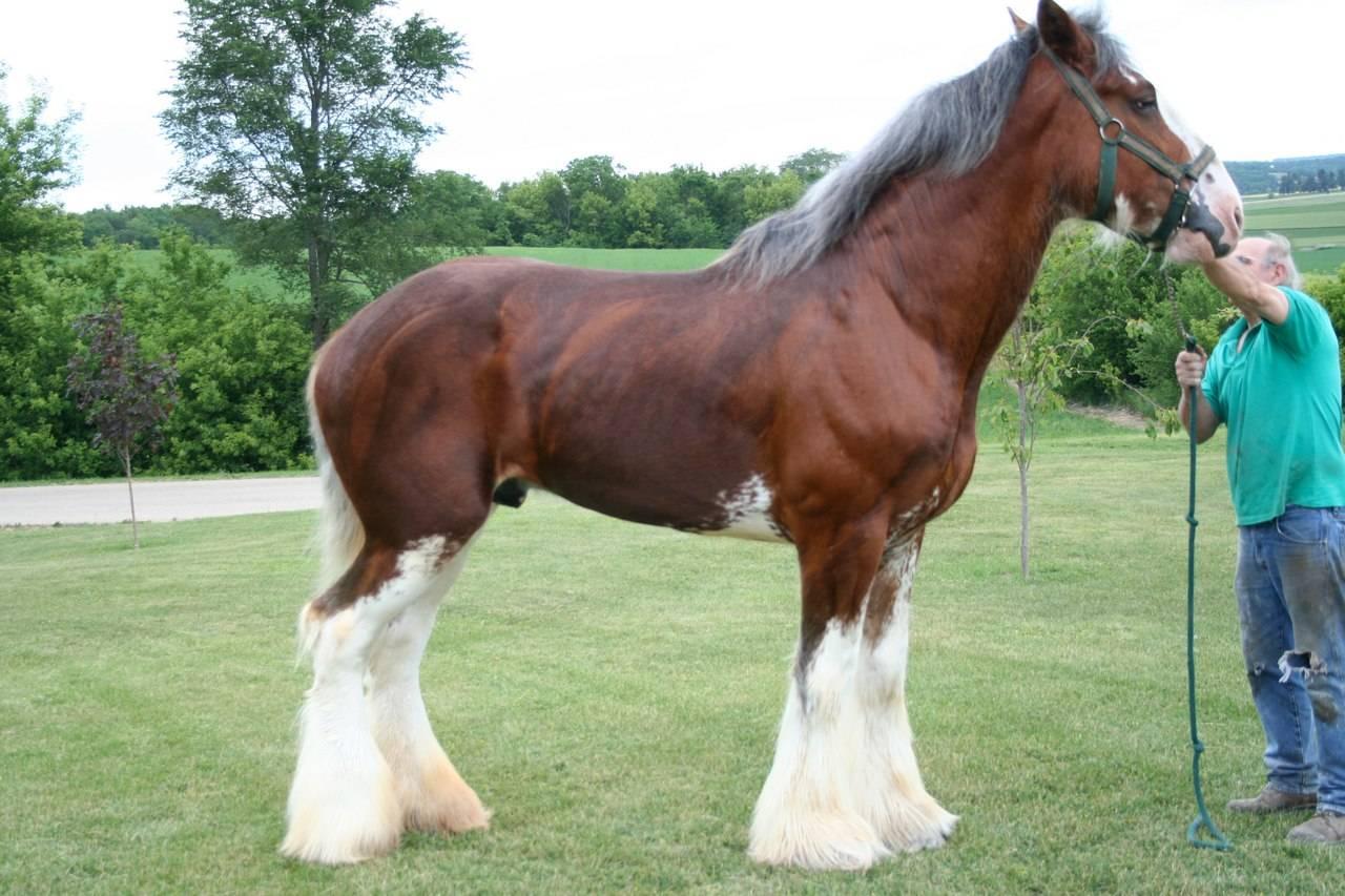 Лошадь першерон: обзор породы, характеристики, фото