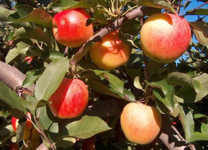 Выращивание неприхотливой позднезимней яблони свежесть