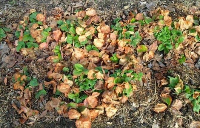 Уход за клубникой весной: советы опытных садоводов