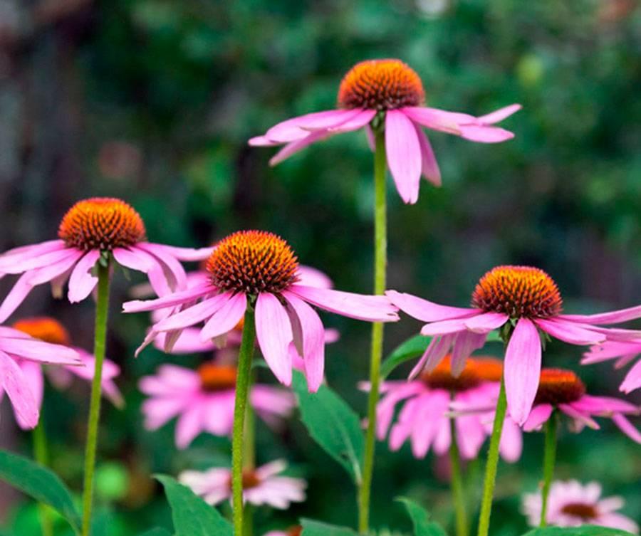 Эхинацея - правильная посадка и уход - лечебные растения