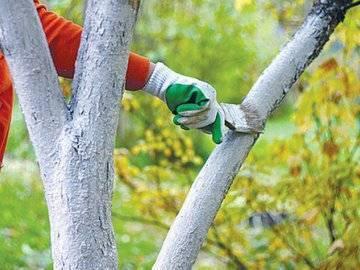 Как выполнить побелку деревьев