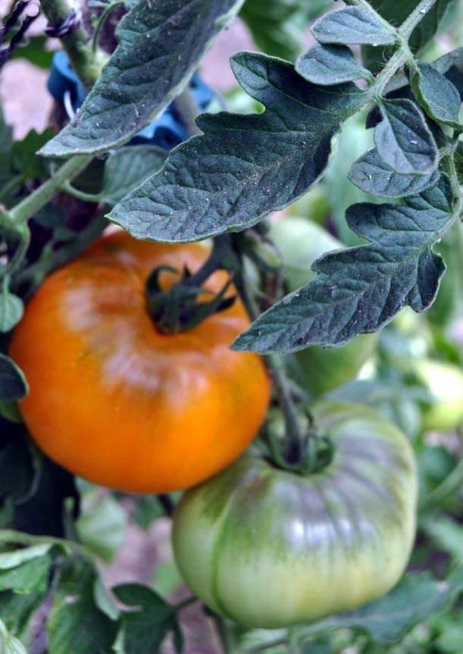 Характеристика томатов сорта «Хурма»: особенности и урожайность