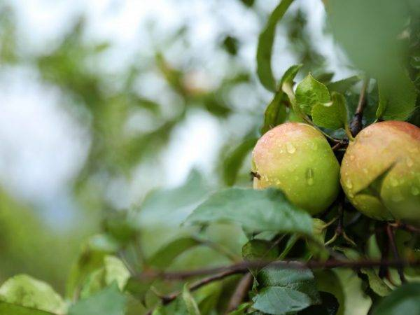 Колоновидная яблоня: сорта для подмосковья и московской области, описание, характеристики, отзывы