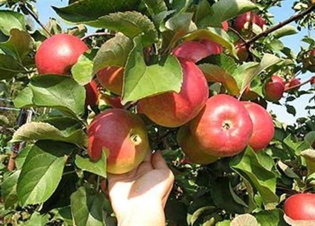 Яблоня услада: описание, посадка и уход + фото и отзывы