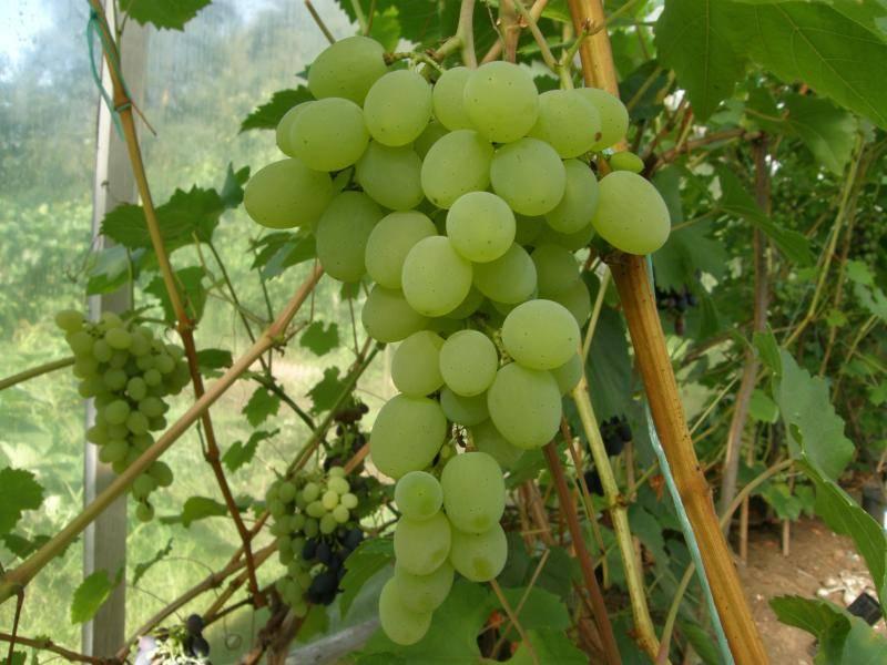 Виноград триумф: фото, описание сорта, отзывы и советы садовников