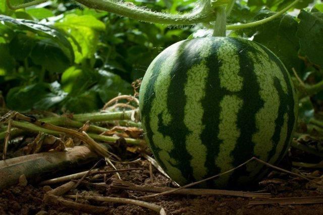 Как выращивать арбузы на урале