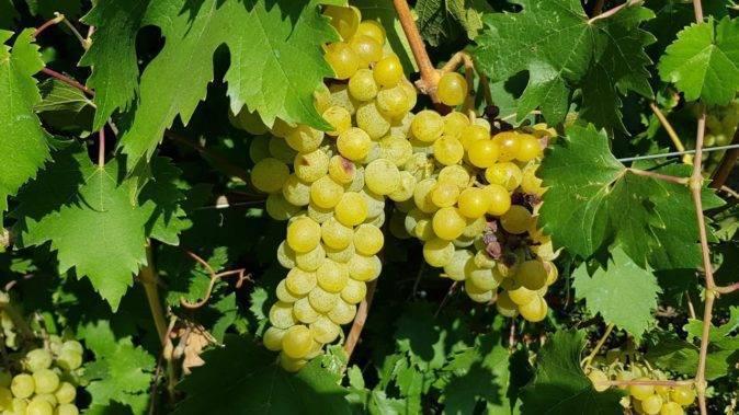 Описание винограда сорта «Дружба»: характеристика, фото и отзывы