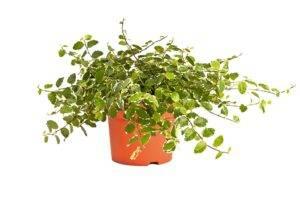 Особенности выращивания крохотного фикуса пумила