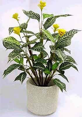Афеландра — уход в домашних условиях, значение комнатного растения в доме